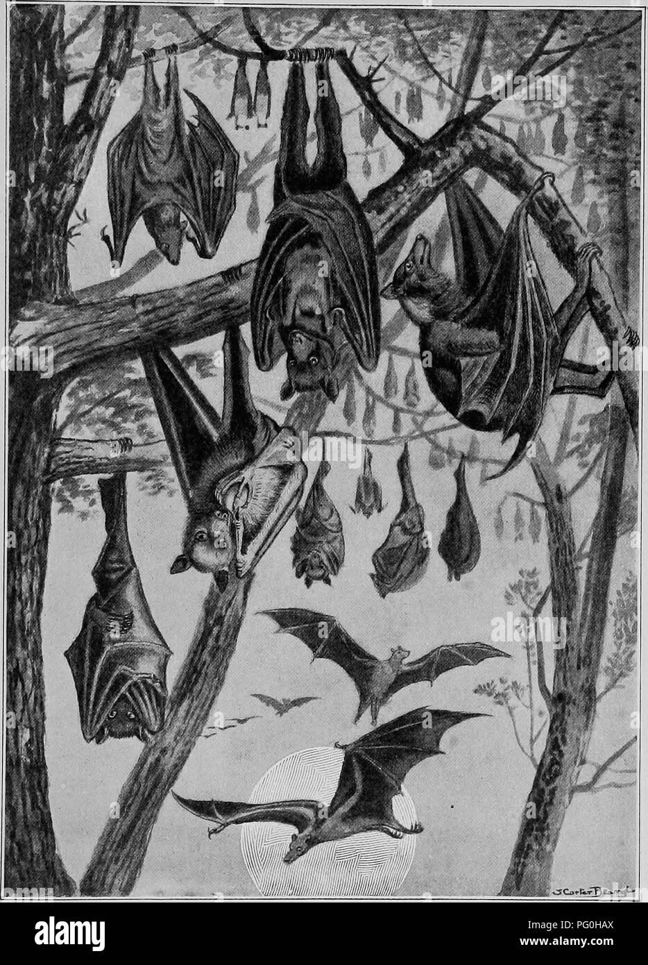 ". The American natural history; a foundation of useful knowledge of the higher animals of North America. Natural history. FRUIT-EATING BATS, OR FLYING ""FOXES."". Please note that these images are extracted from scanned page images that may have been digitally enhanced for readability - coloration and appearance of these illustrations may not perfectly resemble the original work.. Hornaday, William Temple, 1854-1937. New York, C. Scribner's Sons Stock Photo"
