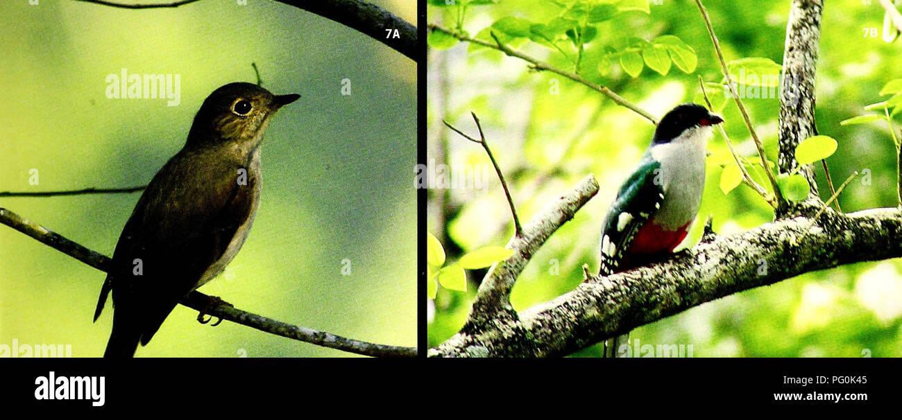 . Cuba : Parque Nacional la Bayamesa. Natural history; National parks and reserves; Ecological assessment (Biology); Wildlife conservation. FIGS.7A, B Registramos 76 especies de aves en el Parque y estimamos que 120 habitan alli. Algunos residentes endemicos estan presentes en densidades excepcionales, incluyendo el Ruisenor {Myadestes elizabeth) y el Tocoloro (.Priotelus temnurus)./ We recorded 76 species of birds in tine Park and estimate that 120 occur there. Some resident endemics are present in exceptional densities, including Cuban Solitaire (Myadestes elizabeth) and Cuban Trogon (Priote - Stock Image