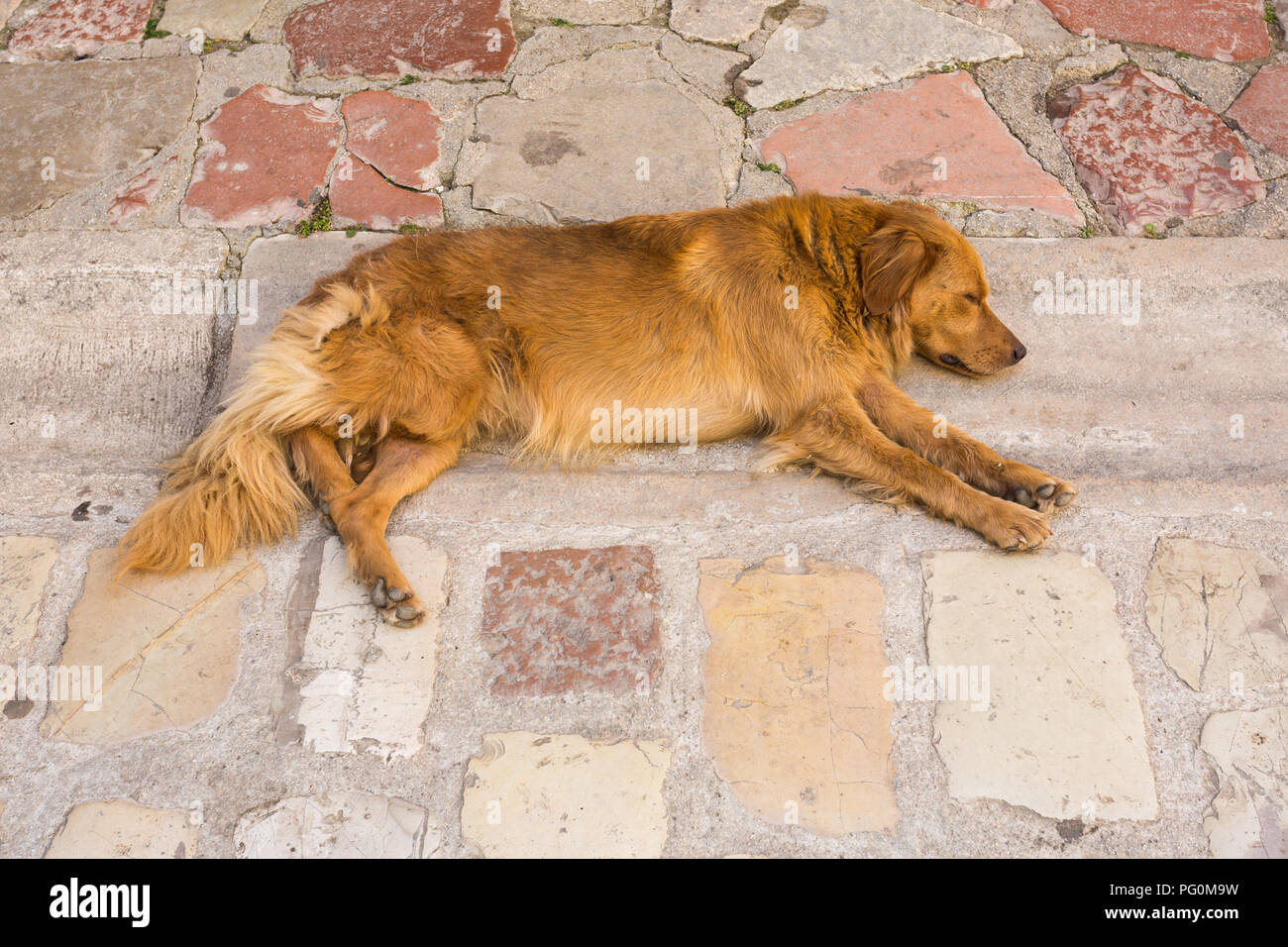 Golden brown coloured fur lazy pet canine dog laying down and sleeping / resting in gutter of stone slab paved street on hot day at Kotor. Montenegro. - Stock Image