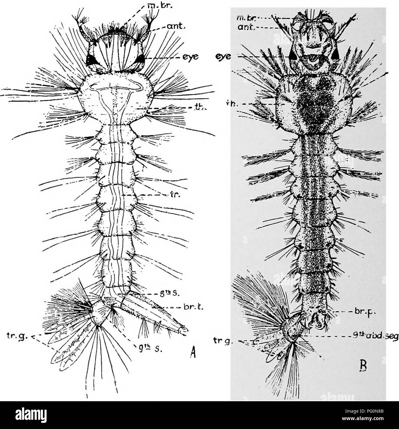 . Animal parasites and human disease. Medical parasitology; Insects as carriers of disease. 432 MOSQUITOES using their tracheal gills, but they die within a few hours if shut in water without dissolved air. Mosquito larvae, unless suspended from the surface film by means of the breathing tube, have a tendency to sink and they rise again only by an active jerking of the abdomen, using it as. Fig. 196. A, Larva of tropical house mosquito, Culex quinquefasciatus; ant., antennae; br. t., breathing tube or siphon; m. br., mouth brushes; th., thorax; 8th s., 8th abdominal segment; 9th s., 9th abdomi - Stock Image