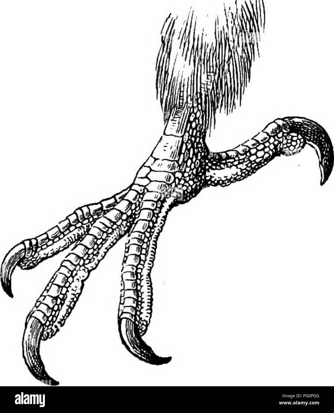 . The birds of South Africa. Birds. TEEKONID^ VINAOO 157 Key of the Species. A. Below greenish with an oKve tinge V. delalandii, p. 157. B. Below greenish with a yellowish tinge V. sehaloivi,-p. 159.. Fig. 48.—Left foot of Vinago delalandii. x  629. yinago delalandii. Delalande's Green Pigeon. Phalacrotreron delalandii, B^j. Coiisp. Av. ii, p. 6 (1854); id. Icon Pig. pi. 1 (1857) ; Ayres, Ibis, 1880, p. 109. Treron delalandii, Gurney, Ibis, 1862, p. 33 ; Layaid, B. S. Afi: p. 255 (1867); Gurney, Ibis, 1868, p. 164; Shelley, Ibis, 1875, p. 83; Holub Sf- Peheln, Oni. Siid-Afr. p. 171 (1882); S - Stock Image
