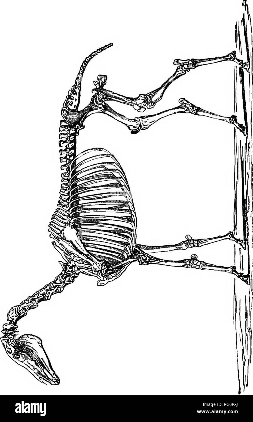 . A text-book of agricultural zoology. Zoology, Economic. 286 SKELETON 01? THE HOESE.. B, 1 i ? r. Please note that these images are extracted from scanned page images that may have been digitally enhanced for readability - coloration and appearance of these illustrations may not perfectly resemble the original work.. Theobald, Frederick Vincent, 1868-1930. Edinburgh and London, W. Blackwood and sons Stock Photo