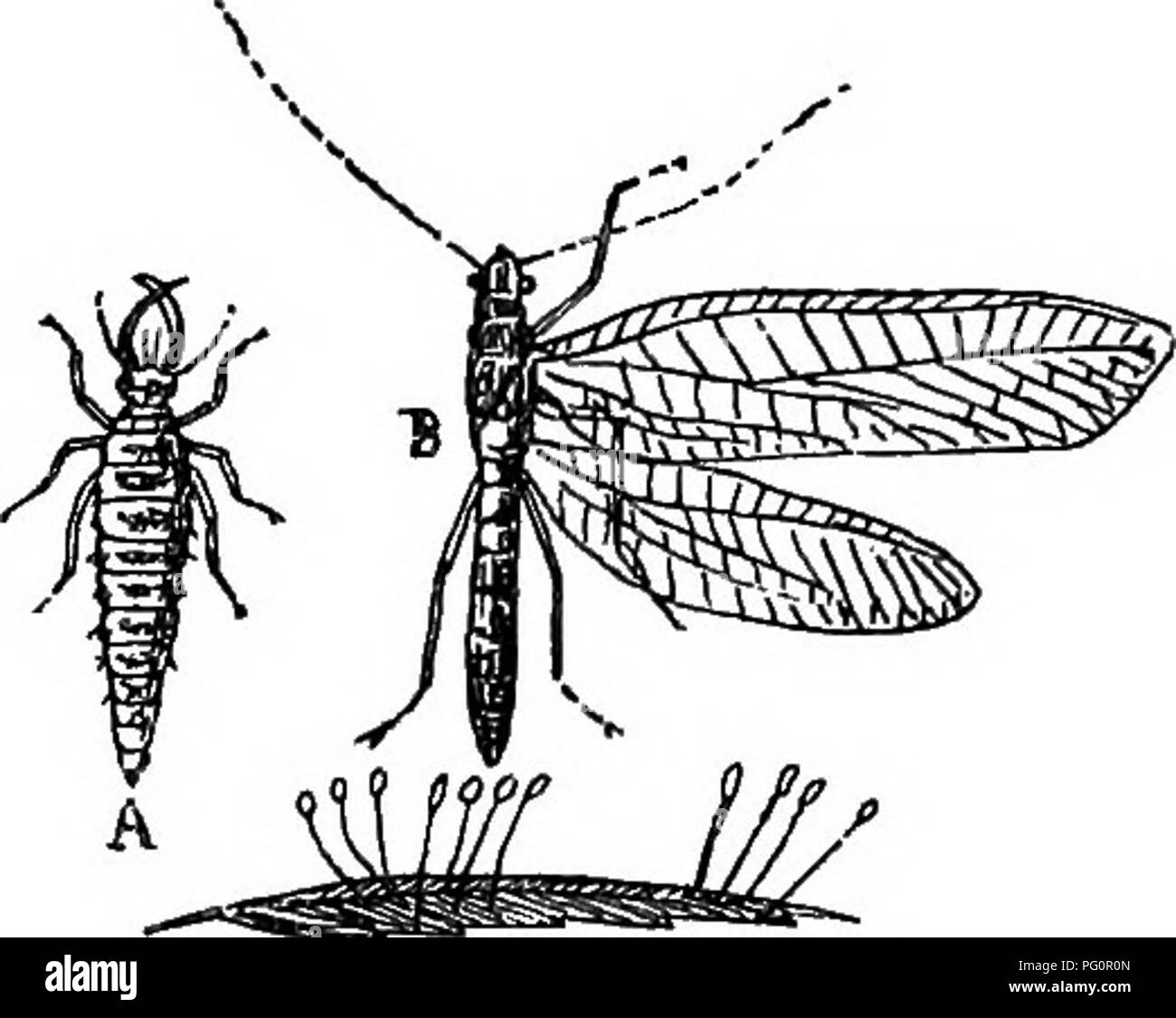 """. A text-book of agricultural zoology. Zoology, Economic. LACE-WING FLIES. 257 malia (Trichodecies) have three-jointed antennsB. These must not be confounded with the piercing-mouthed lice {Hcemato- pinus). Prevention and Treatment.—AH fowls should have """"dust- baths,"""" so that they can rid themselves of these pests. Eoad dust and lime or gypsum and a little paraffin make as good a mixture as any. All brood-hens should be dressed around the rump and under the wings with mercurial ointment before being set, and young chicks should be similarly dressed up the neck to kiU the tick-like sp - Stock Image"""