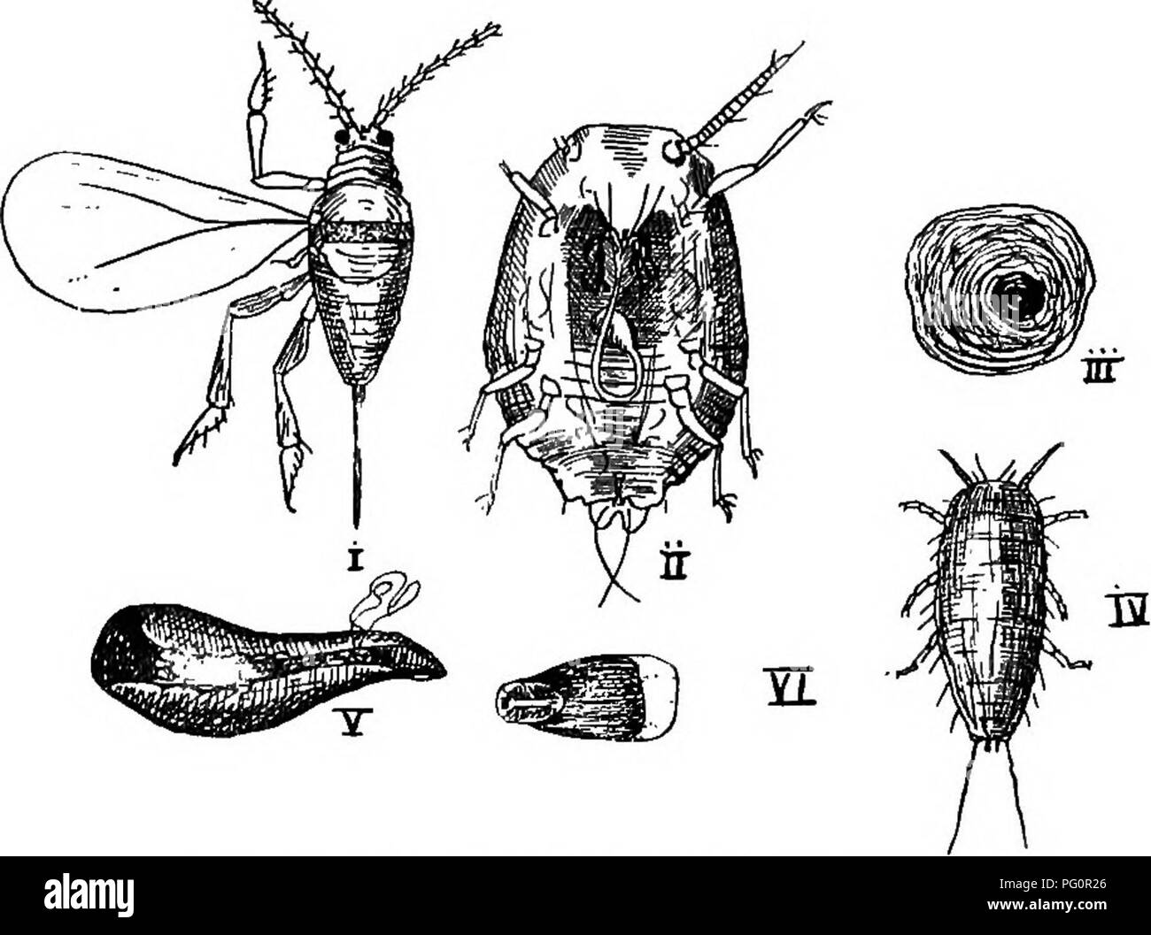 . A text-book of agricultural zoology. Zoology, Economic. SCALE INSECTS. 243 covered with a quantity of mealy powder and wool. During winter most of our outdoor scales are in the egg state; the ova are minute dust-like bodies found amongst a woolly mass under the scale. In warmer and tropical climates scales breed all the year round, and so they do in hothouses in this country. The young scale insects are active six-legged larvse (iv), which wander about for a time and then settle down and form a small scale, gradually increasing in size. If this larva is going to be-. Fio. 124.—Male Sah Jos£  - Stock Image