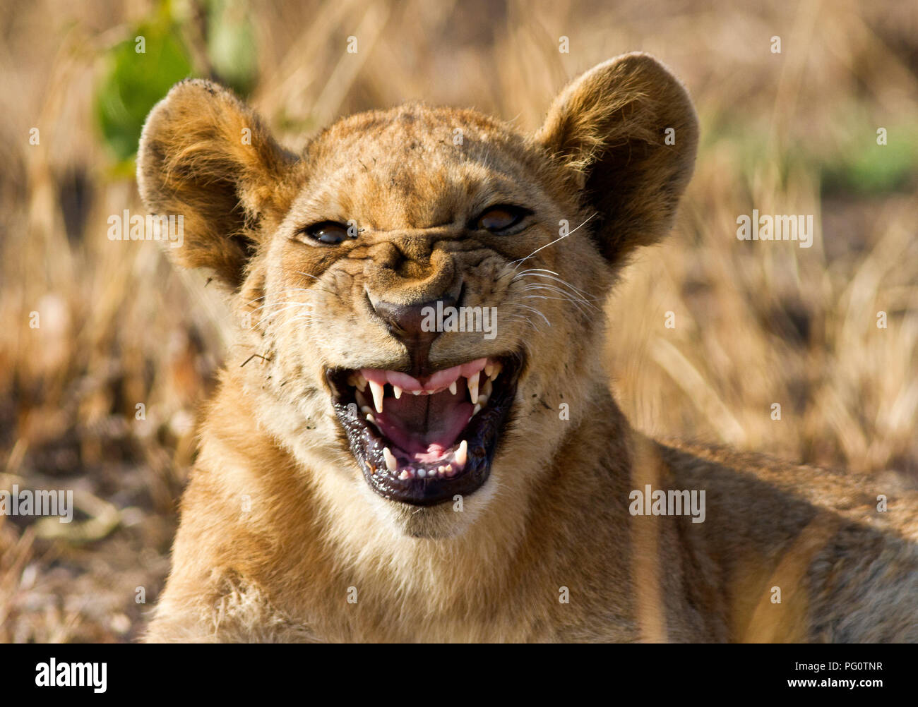 A lion cub snarls at the vehicle knowing full well he is safe in the confines of the pride who are all in close proximity. - Stock Image