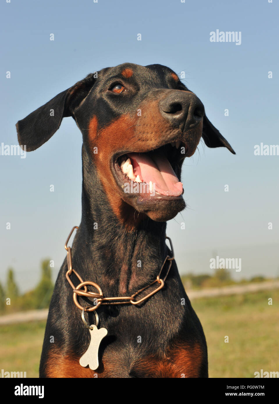 young doberman pinscher sitting in the nature - Stock Image