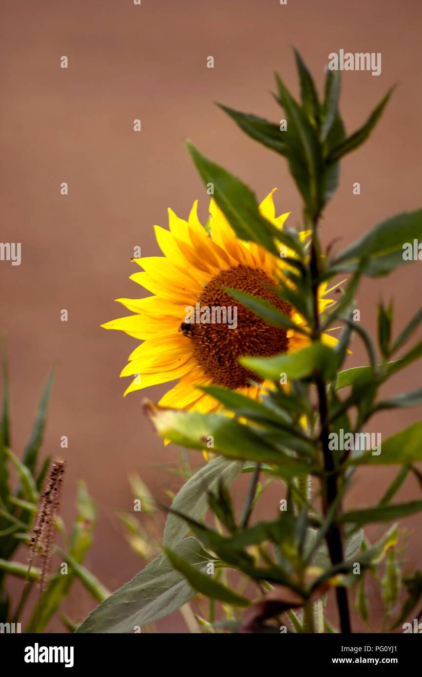 DE - Concept Nature : The Sunflower - Stock Image