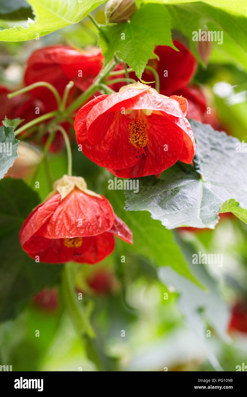Abutilon 'Ashford Red' flowering in a protected environment. - Stock Image