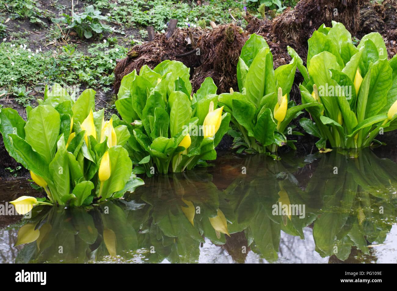 Lysichiton americanus. Western skunk cabbage in an English bog garden. - Stock Image