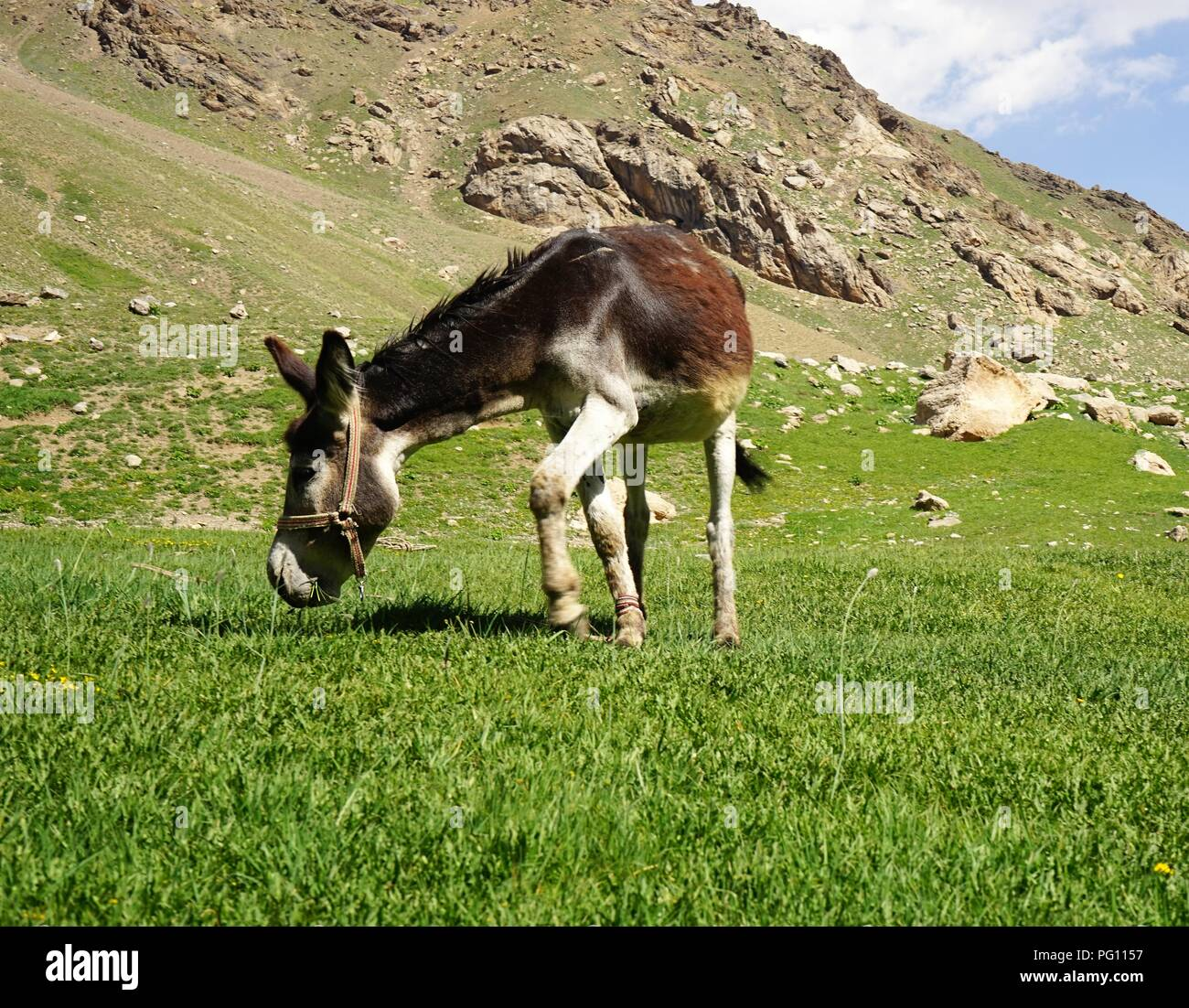Donkey grazing in the mountain valley, Fann Mountains, Tajikistan - Stock Image