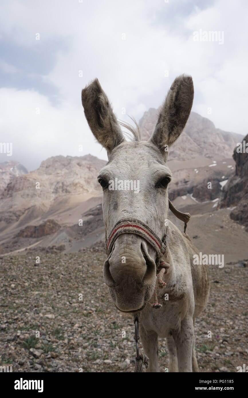 A portrait of a donkey in the Fann Mountains, Tajikistan - Stock Image