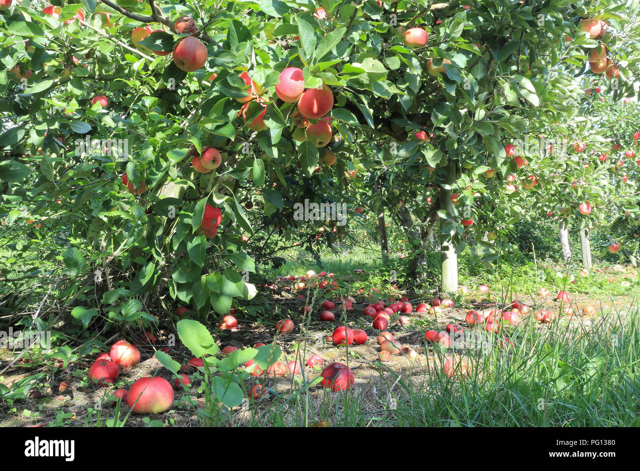 Autumn orchard with fruit trees full of red apples and ripe, rotten on the ground . - Stock Image