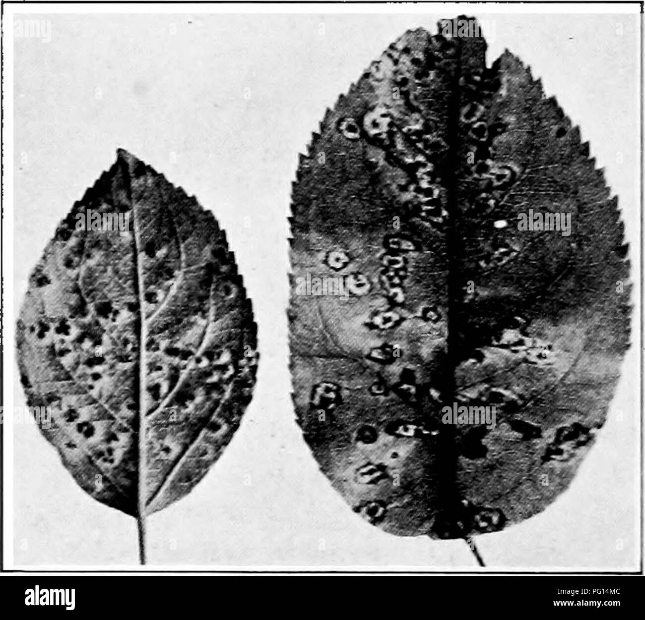 . Manual of tree diseases . Trees. 194 MAX UAL OF TREE DISEASES jelly-like and the individual spores germinate, each producing several secondary spores (basidiospores) which are shot off into the air. These spores are carried away by the wind and may find lodgment on the leaves, twigs or fruit of the proper alternate host. Under favorable conditions of moisture, the basidiospores germinate and the tissue of the pomaceous host is penetrated and a new growth of mycelium started. The area of tissue invaded is limited to a small spot which becomes somewhat swollen and light yellow in color (Fig. 2 - Stock Image