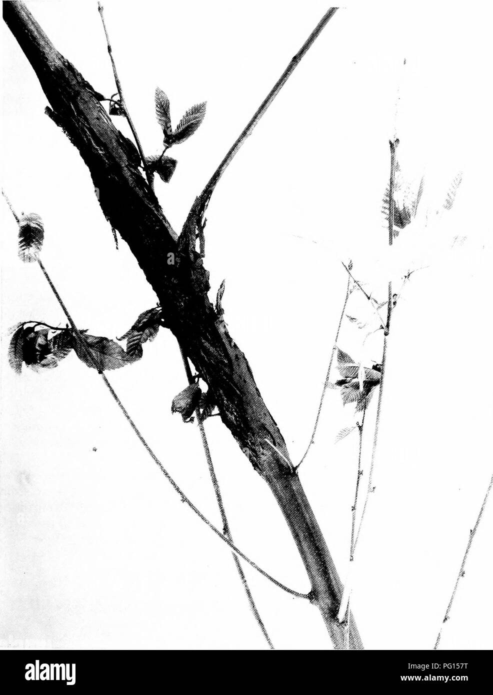 Fence Poles Black And White Stock Photos Images Alamy Wiring A Cordwood House Chestnut Blight Resistant Chestnuts 1 I