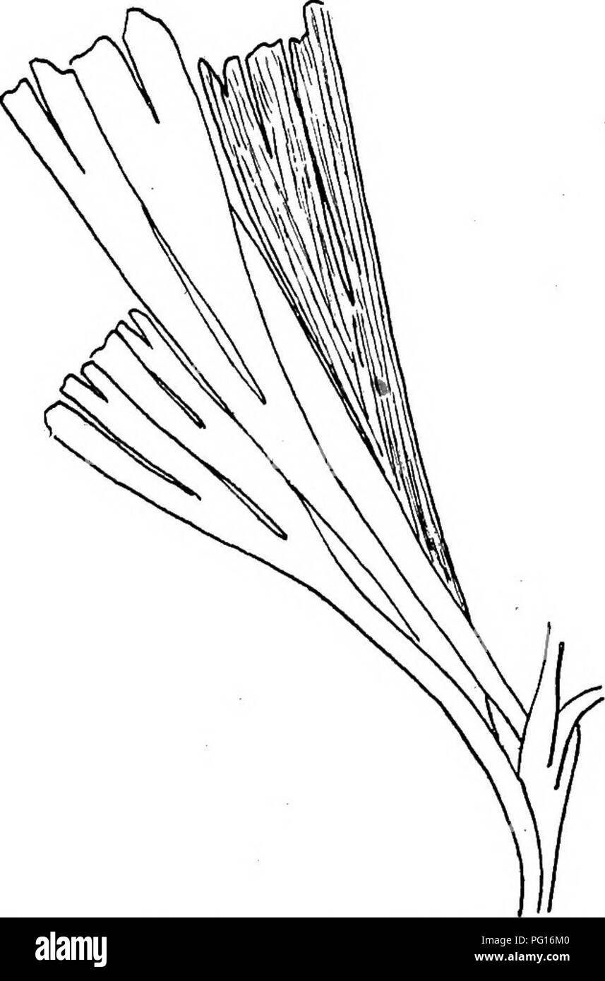 . Fossil plants : for students of botany and geology . Paleobotany. XLfl] FSYGMOPHYLLTJM 87 divided by a deep median sinus into two bilobed segments and agrees closely with some species of Baiera. By some authors this species would be included in Ginkgophyllum but, as already stated in the account of the genus, the degree of dissection of the leaves is too variable and unimportant a character to be made the basis of a generic differentiation. Psygmophyllum Grasserti (Saporta). This Permian species from Lodeve^, France, agrees closely with P. fiabellatum in the size and outline of the leaves as - Stock Image