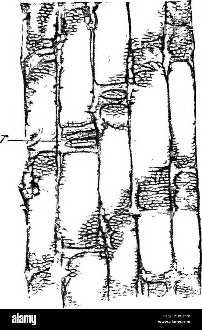 Studies in fossil botany   Paleobotany  SPHENOPHYLLEAE 93 39  This