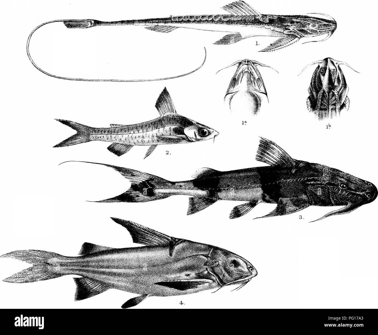 . The fishes of India; being a natural history of the fishes known to inhabit the seas and fresh waters of India, Burma, and Ceylon. Fishes. Day's Fishes of India. Plate Cr/.. Please note that these images are extracted from scanned page images that may have been digitally enhanced for readability - coloration and appearance of these illustrations may not perfectly resemble the original work.. Day, Francis, 1829-1889. London, B. Quaritch - Stock Image