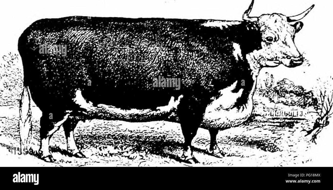 History Of Hereford Cattle Proven Conclusively The Oldest