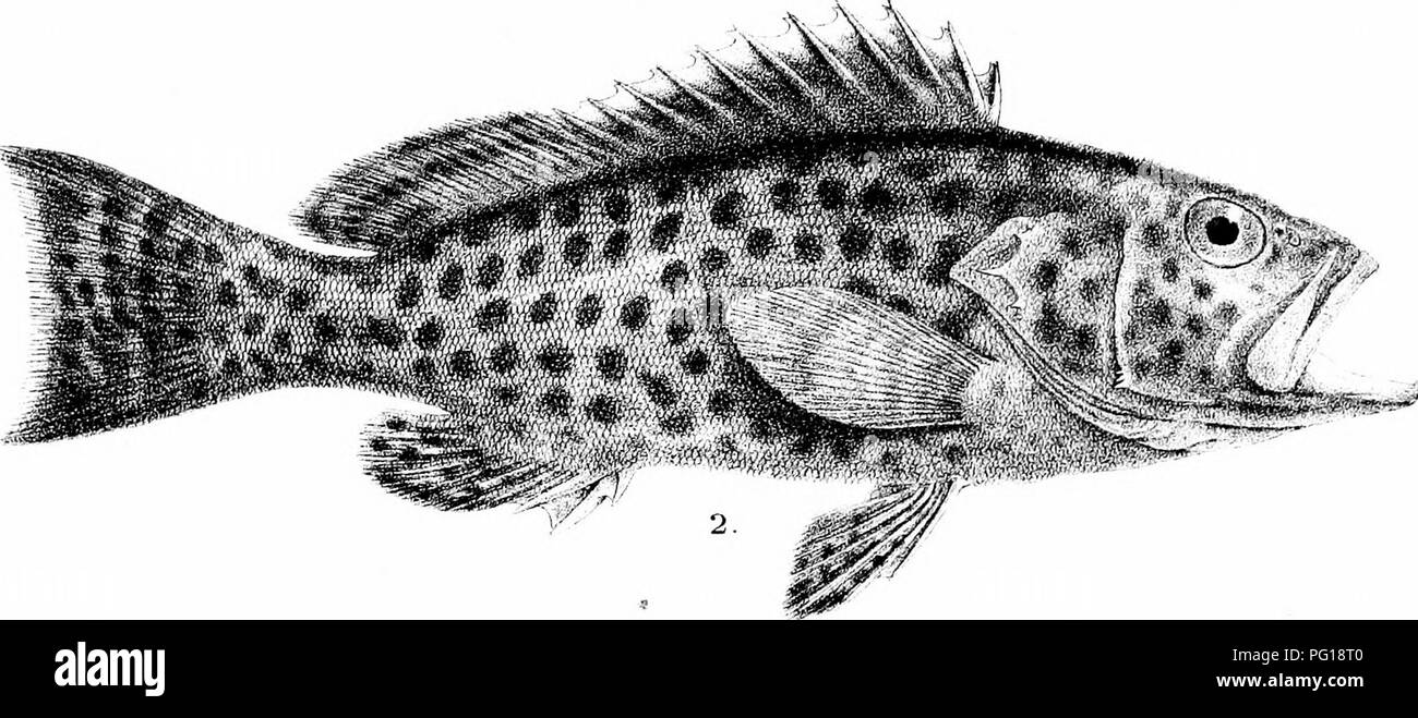 . The fishes of India; being a natural history of the fishes known to inhabit the seas and fresh waters of India, Burma, and Ceylon. Fishes. 1 ^,S^A. %- :%. -^^^^ ^. Please note that these images are extracted from scanned page images that may have been digitally enhanced for readability - coloration and appearance of these illustrations may not perfectly resemble the original work.. Day, Francis, 1829-1889. London, B. Quaritch - Stock Image