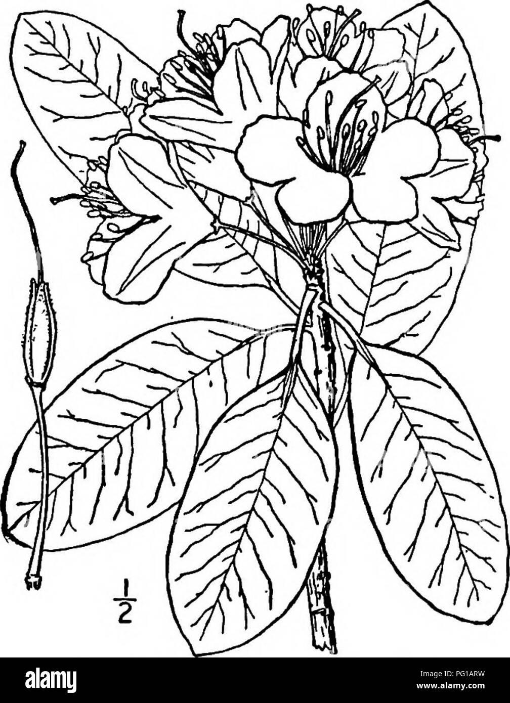 . North American trees : being descriptions and illustrations of the trees growing independently of cultivation in North America, north of Mexico and the West Indies . Trees. Fig. 688. — Mountain Rose Bay. 2. MOUNTAIN ROSE BAY Rhododendron catawbiense Michaux This evergreen shrub, sometimes be- comes a small tree, and is also called Catawba Rhododendron and Carolina Rho- dodendron. It occurs mostly on moun- tain sides and summits, from Virginia and West Virginia to Georgia and Alabama, attaining a maximum height of 6 meters, with a trunk diameter of i dm. The trunk is short, crooked, and much  Stock Photo