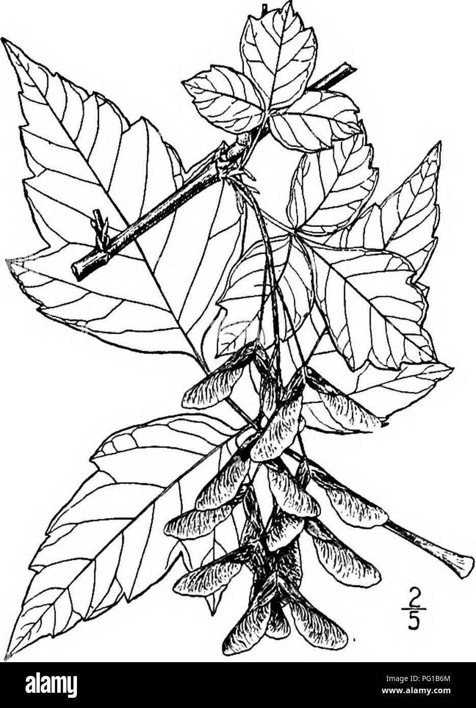 . North American trees : being descriptions and illustrations of the trees growing independently of cultivation in North America, north of Mexico and the West Indies . Trees. Western Ash-Leaved Maple 655 in outline, or the terminal one nearly round in outline, pointed, very coarsely toothed or sometimes 3-lobed, densely hairy on the under side even when nearly or quite mature, and more or less hairy on the upper surface. The flowers appear with the leaves, and resemble those of Acer Negundo, but the pedicels, calyx, ovary, and styles are densely woolly. The samaras are about 3 cm. long, little - Stock Image