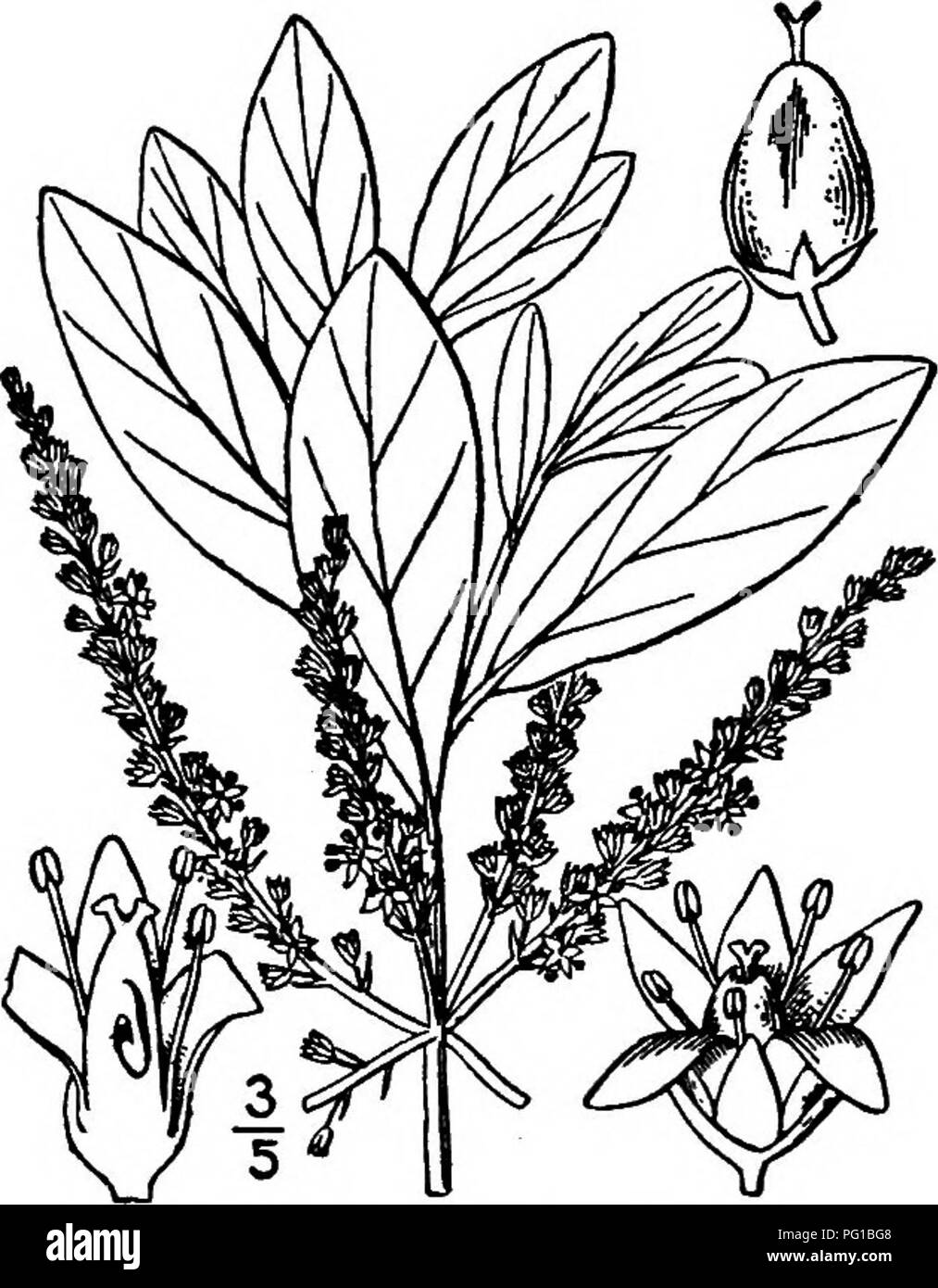 . North American trees : being descriptions and illustrations of the trees growing independently of cultivation in North America, north of Mexico and the West Indies . Trees. 6i8 Titi alternate entire-margined leaves are leathery, narrowly to rather broadly oblanceo- late to obovate or oblong, 2 to 10 cm. long, i to 3 cm. wide, rather strongly netted- veined, blunt or pointed, dark green and shining on the upper side, dull green and paler on the lower; their stalks are from 3 to 15 mm. long and they have no stipules. The small white or pinkish flowers are regular and perfect, borne in long nar - Stock Image
