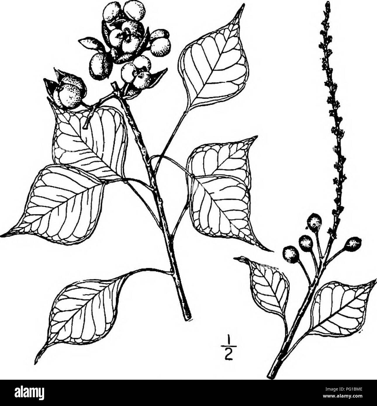 Milk tree: photo, description, where it grows 52