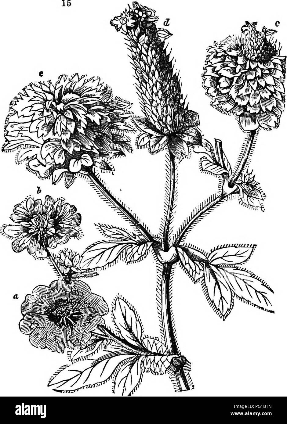 . The theory of horticulture : or, An attempt to explain the principal operations of gardening upon physiological principles . Horticulture; Plant physiology. ACTION OF FLOWEES. 61 also partially transformed into leaves {p p), while the wliole apparatus of stamens and pistils is converted into an ordinary branch. Fig. 15 shows the state of. plants of Potentilla nepalensis with their flowera changing to branches: a is a flower in the ordinary. Please note that these images are extracted from scanned page images that may have been digitally enhanced for readability - coloration and appearance of - Stock Image