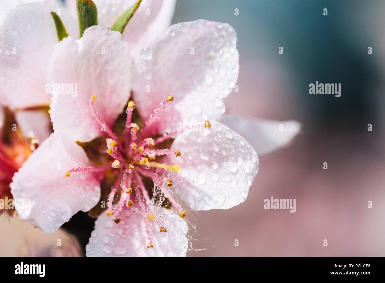 Nice pink flowers stock photos nice pink flowers stock images alamy detail of a beautiful blooming tree in a spring nice pink flowers with small rain mightylinksfo
