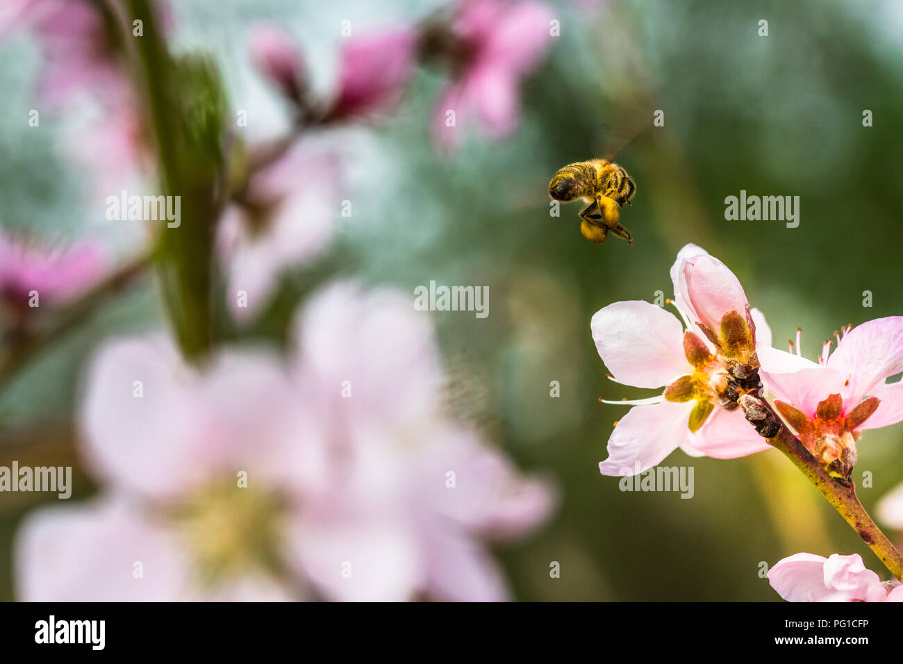 A hard working European honey bee pollinating a pink flower in a spring. Caught when flying. Beautiful macro shot with shallow depth of field and blur - Stock Image