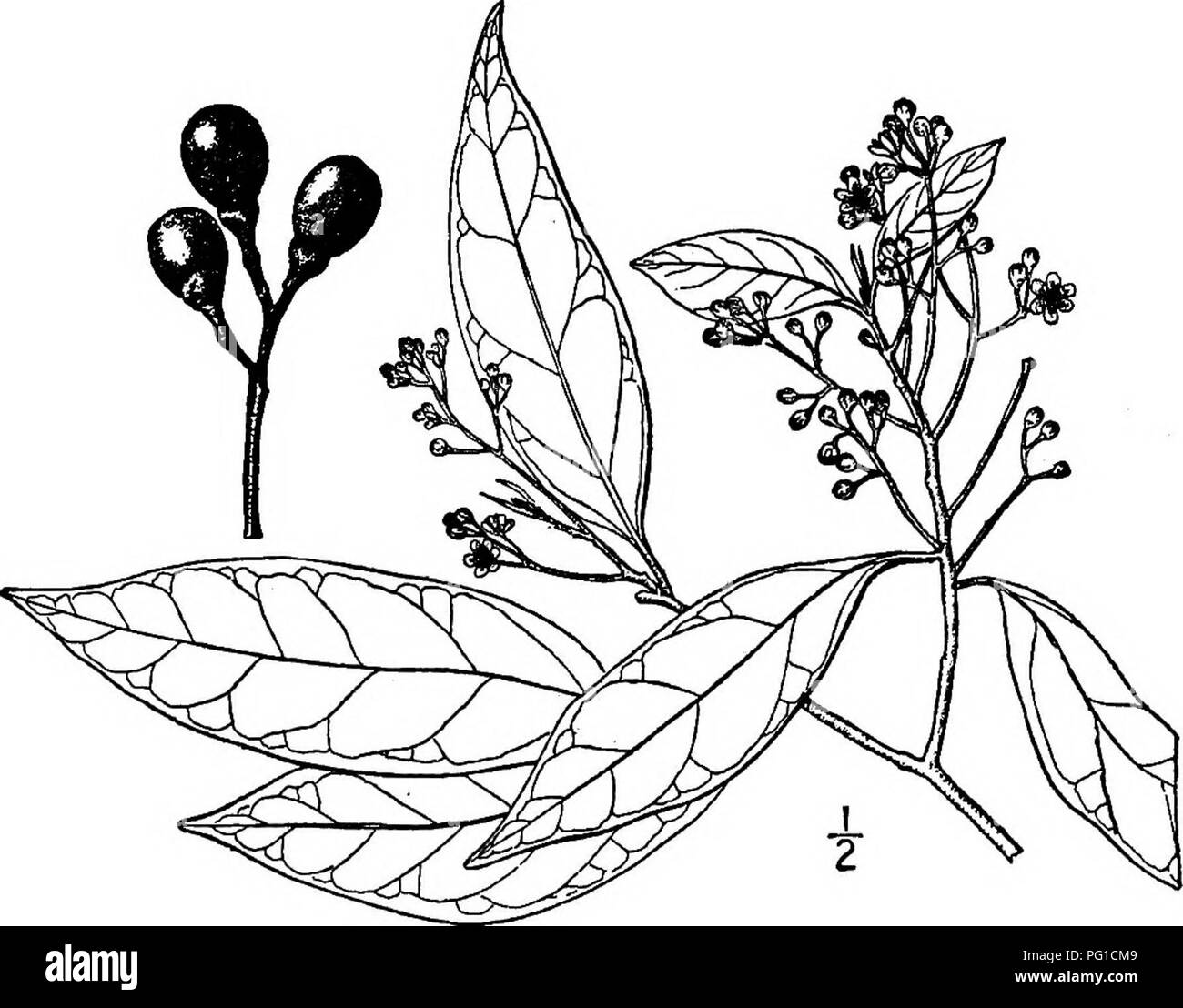 . North American trees : being descriptions and illustrations of the trees growing independently of cultivation in North America, north of Mexico and the West Indies . Trees. Lancewood 401 thin, light gray, the slender smooth round twigs brown, turning gray. The oblong to oblong-lanceolate leaves are 15 cm. long or less, pointed or long-pointed, smooth, dark green and shining on the upper surface, dull green, sparingly finely hairy or smooth on the under side, narrowed at the base, rather strongly netted-veined, their stalks 1.5 cm. long or less. The small perfect white flowers are numerous in - Stock Image
