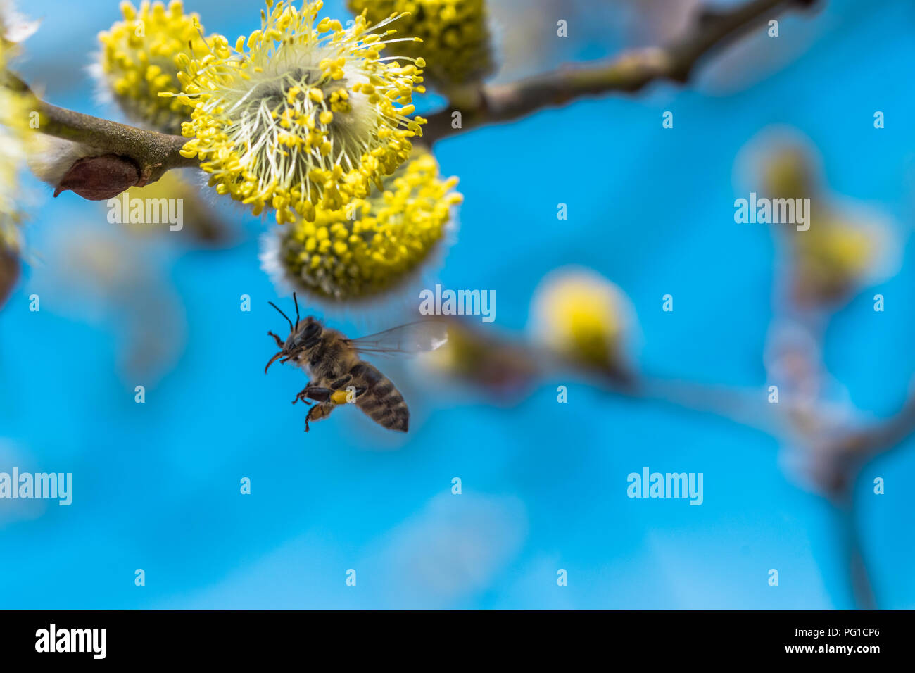 A hard working European honey bee pollinating a yellow flower in a spring. Caught when flying. Beautiful macro shot with shallow depth of field and bl - Stock Image