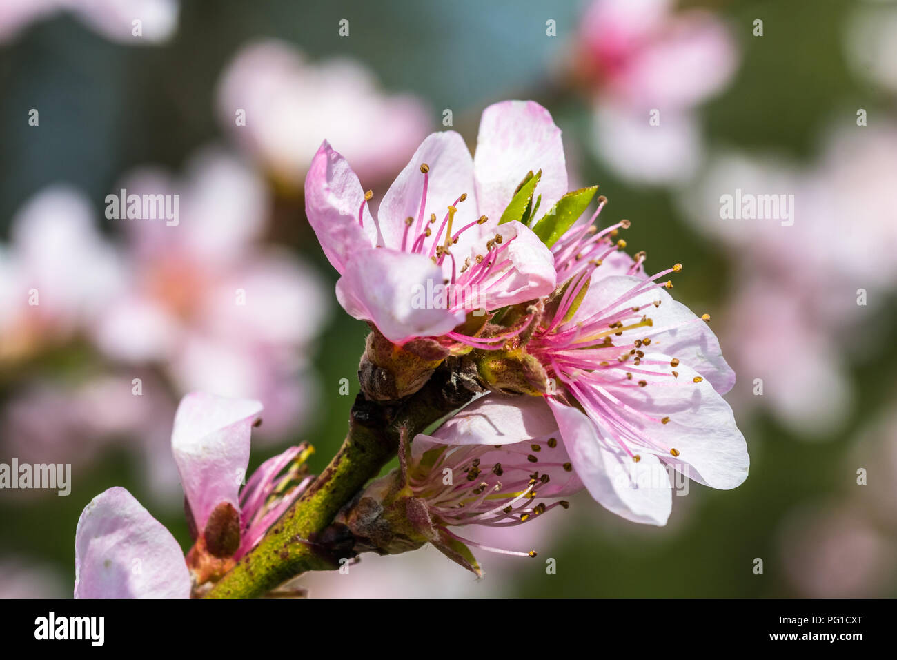 Nice pink flowers stock photos nice pink flowers stock images alamy detail of a beautiful blooming tree in a spring nice pink flowers macro shot mightylinksfo