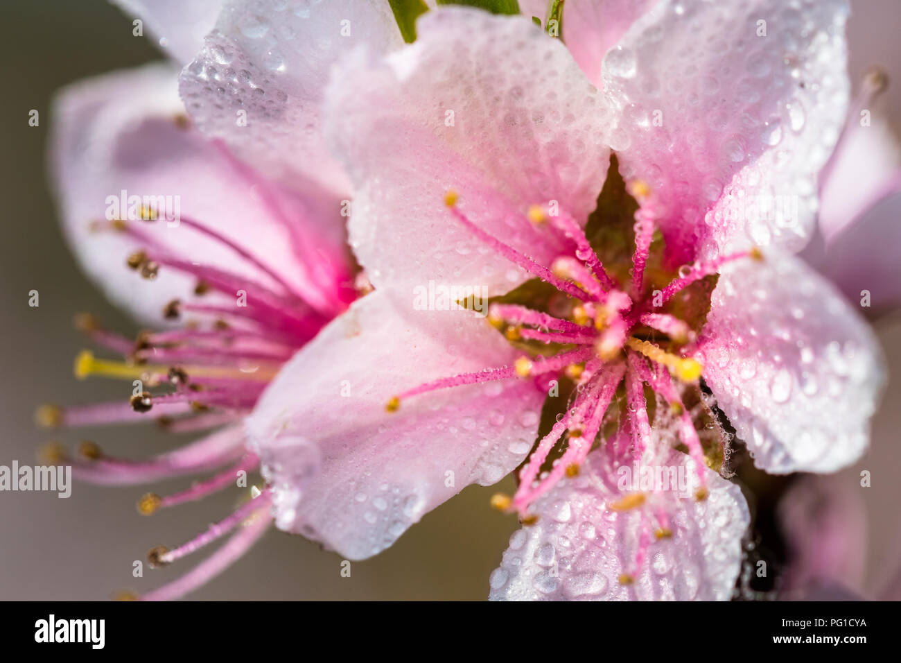 Detail Of A Beautiful Blooming Tree In A Spring Nice Pink Flowers