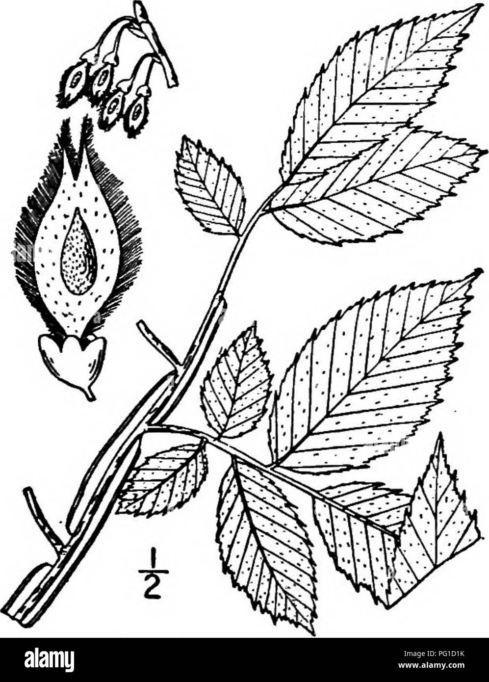 """. North American trees : being descriptions and illustrations of the trees growing independently of cultivation in North America, north of Mexico and the West Indies . Trees. 348 The Elms The name """"winged"""" elm is with reference to the plentiful development of corky wings on its branches; it is also commonly known as Wahoo. The bark is thin, shallowly fissured, scaly and light reddish brown. The young twigs are very finely and sparingly hairy, or quite smooth, and usually develop corky wings which are long-persistent. The leaves are oblong to oblong-ovate or oblong-lanceolate, sharp-  - Stock Image"""