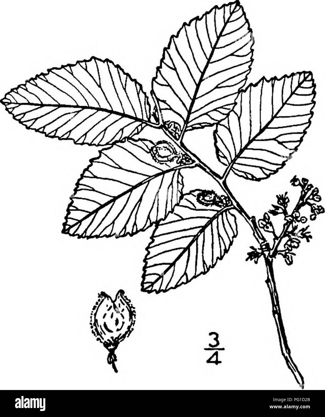 . North American trees : being descriptions and illustrations of the trees growing independently of cultivation in North America, north of Mexico and the West Indies . Trees. Cedar Elm 345 sided. The flowers are small, variously clustered, and almost always perfect, though sometimes polygamous, vernal in most of the species and then appearing before the leaves, autunmal in a few species and then appearing in the axils of leaves of the season. The usually bell-shaped calyx is from 4-lobed to 9-lobed, the lobes sometimes extending nearly to its base; it remains permanently attached to the fruit; - Stock Image