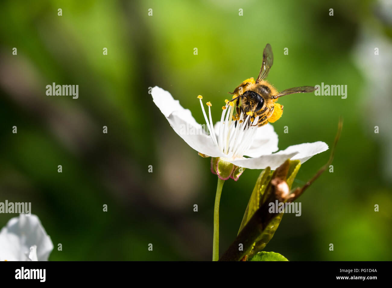 A hard working European honey bee pollinating a flowers in a spring. You can see big pollen baskets on legs (corbicula). Beautiful macro shot with sha - Stock Image