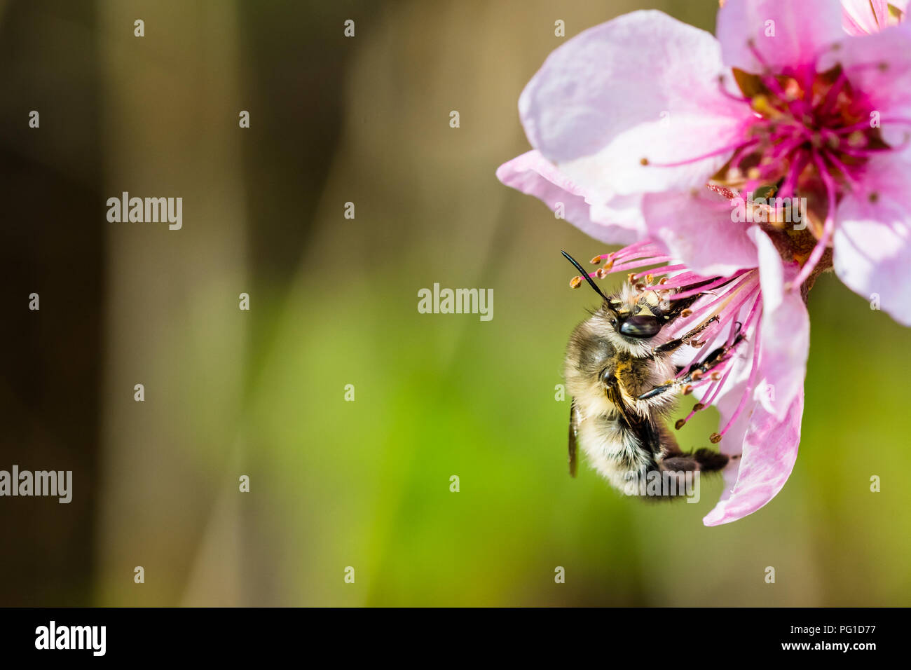 A hard working  bee pollinating a pink flower in a spring. Beautiful macro shot with shallow depth of field and blurred background. - Stock Image