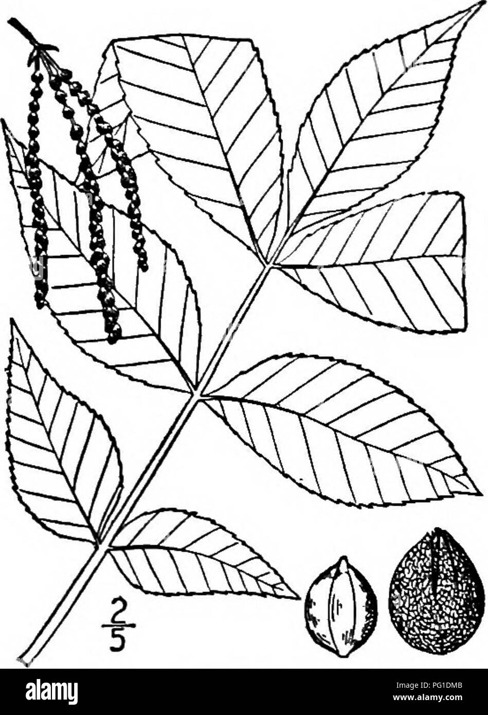 . North American trees : being descriptions and illustrations of the trees growing independently of cultivation in North America, north of Mexico and the West Indies . Trees. 236 The Hickories for a few light-colored warts, dark brown or gray. The terminal bud is ovoid, blunt, about 15 mm. long, its scales 6 to 8, imbricated, the outer reddish brown and leathery, the inner hairy and continue to grow when the leaf expands, becoming 2.5 to 3.5 cm. in length. The leaves are 2 to 3 dm. long; leaf- stalk stout and channeled; leaflets 5 to 7, oval, ob- long or ovate, 6 to 14 cm. long, narrowed or ro - Stock Image