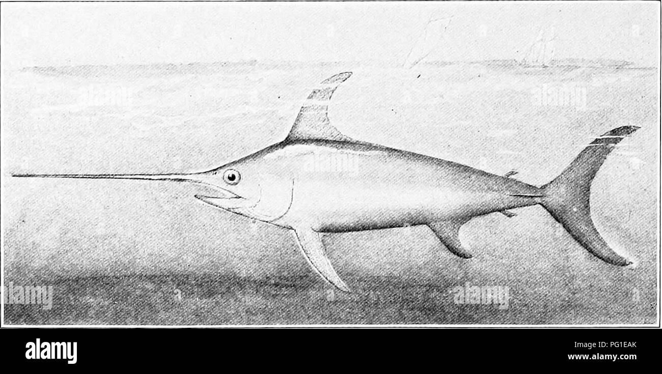 . The American natural history; a foundation of useful knowledge of the higher animals of North America. Natural history. ^210 SPINY-FINNED FISHES fitted out with the teeth and appetite of a killer, else the cetaceans would soon be exterminated. The Swordfish well understands the offensive and defen- sive value of his sword, and there are on record many well- authenticated instances wherein this pugnacious creature has driven its formidable weapon through the sides or bottoms. THE SWORDFISH. of small boats, to the peril of the occupants. The majority of such incidents have occurred to boats re - Stock Image
