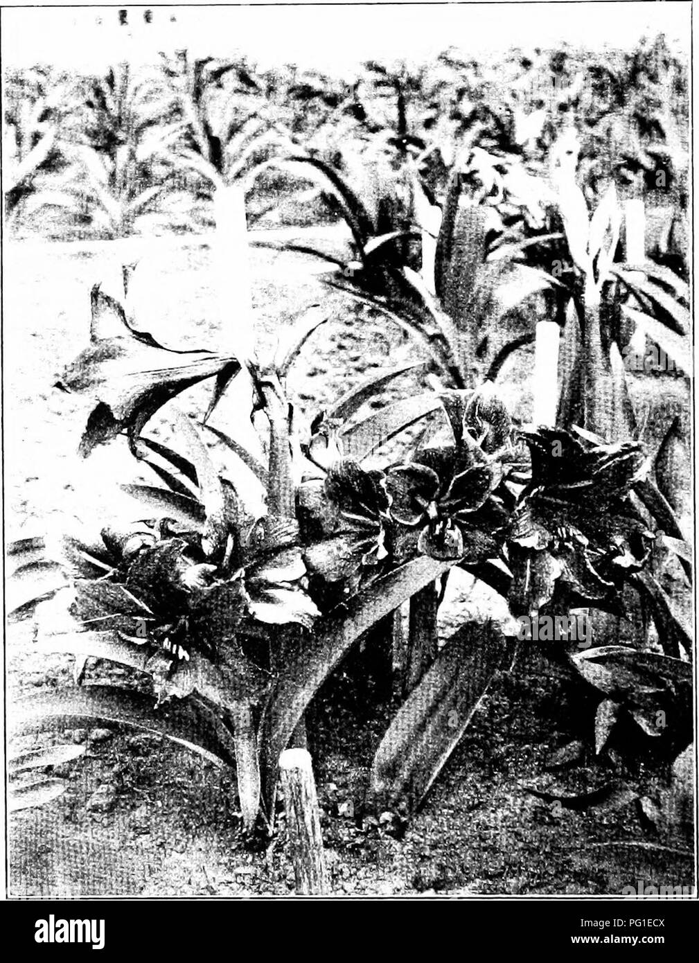 . New creations in plant life : an authoritative account of the life and work of Luther Burbank . Burbank, Luther, 1849-1926; Plant breeding. The iini>roved amaryllis, with blossoms nearly a foot across and of great brilliancy. Please note that these images are extracted from scanned page images that may have been digitally enhanced for readability - coloration and appearance of these illustrations may not perfectly resemble the original work.. Harwood, William Sumner, 1857-1908. New York ; London : Macmillan - Stock Image
