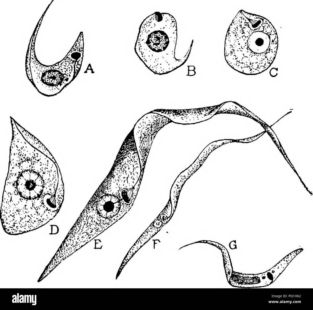 . Animal parasites and human disease. Medical parasitology; Insects as carriers of disease. CHAGAS' DISEASE — PARASITE IN BUG 111 transmitting agent of the trypanosome. A few hours after a bug has fed on infected blood the trypanosomes begin to change form in the midgut, becoming round and Leishmania-like in form, losing the flagellum and undulating membrane (Fig. 28A, B and C.) Then comes a period of very rapid increase in number, the parasites gradually pushing backward toward the hindgut by sheer multiplication. After about two days Crithidia forms begin to develop and become numerous in th - Stock Image