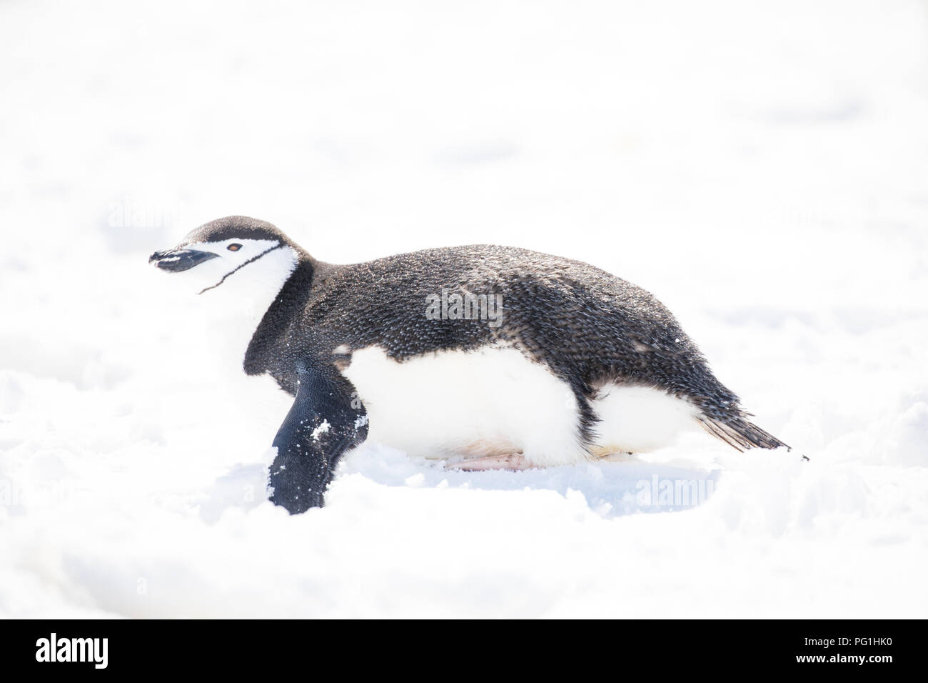 some penguins in the arctic walking around on the north pole and looking for the young baby's - Stock Image