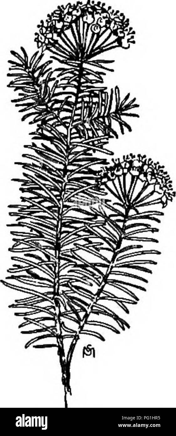 . A manual of weeds : with descriptions of all the most pernicious and troublesome plants in the United States and Canada, their habits of growth and distribution, with methods of control . Weeds. ANAGARDIAOEAE {CASHEW FAMILY) 273 Time of bloom: June to September. Seed-time: July to November. Range: Eastern part of the United States. Habitat: Fields, roadsides, waste places; frequent in cemeteries. An escape from flower gardens and cemeteries, where it should never be given a place, for it is as pervading and uncontrollable as Toad-flax. Its tough, horizontal, creeping rootstocks cause it to g - Stock Image