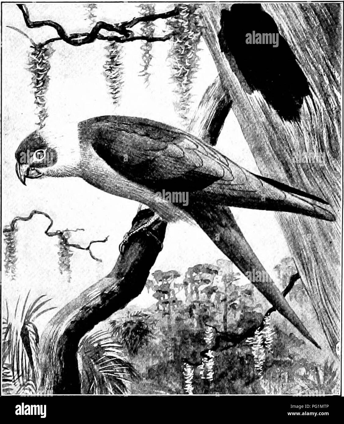 . The American natural history; a foundation of useful knowledge of the higher animals of North America. Natural history. CHAPTER XX THE ORDER OF PARROTS AND MACAWS PSITTACI The parrots, parrakeets, macaws and cocka- toos form a large group, containing in all more than 500 species. Of these, about 150 inhabit the New World, but only one species is found in the United States. South America contains the greatest number of species; Africa and Asia are but poorly supplied, and Europe has none. The widest departures from the standard types are found in New Zealand and Australia.. Drawn by Edmund J. - Stock Image