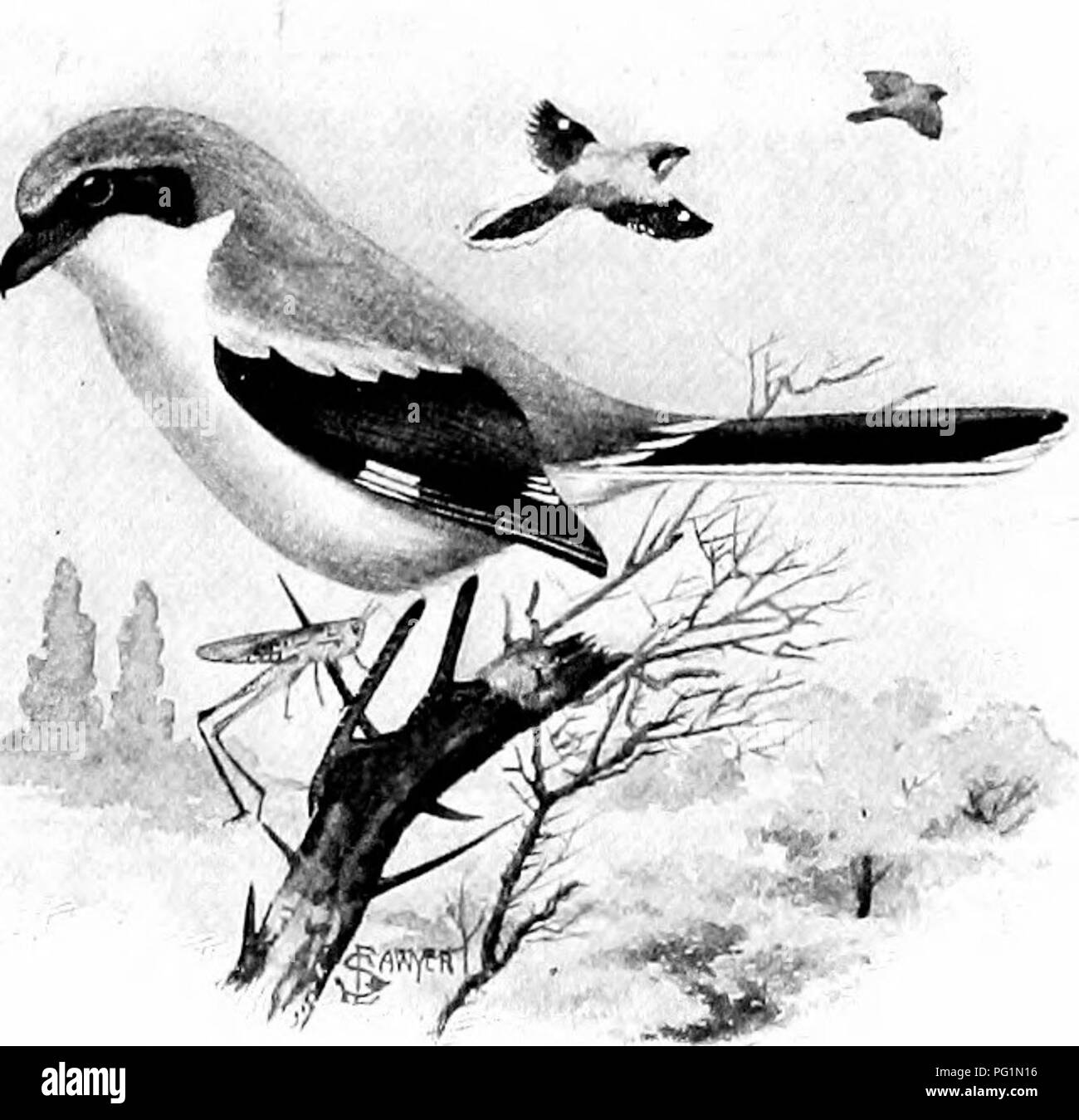 . The American natural history; a foundation of useful knowledge of the higher animals of North America. Natural history. THE VIEEOS AND SHRIKES 191 covered banks. They are watchful and suspi- cious, but when flushed they do not immediately fly bej'ond gunshot, as nowadaj^s every bird should do. The Louisiana Water-Thrush strong- ly resembles the wood-thrush, but is one-fourth smaller. THE VIREO FAMILY. Vireonidae. It is quite difficult to point out pecuUarities by which the vireos can be distinguished from the warblers. They are placed next to the shrikes because of a supposed resemblance to  - Stock Image