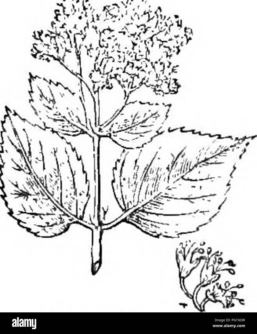 Trees And Shrubs An Abridgment Of The Arboretum Et Fruticetum
