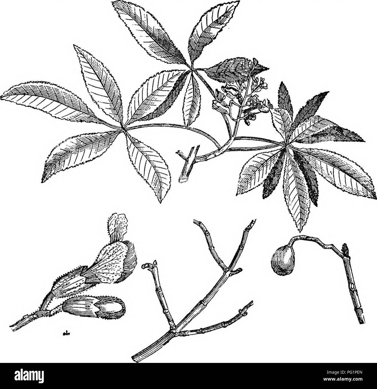 Trees and shrubs   an abridgment of the Arboretum et fruticetum britannicum    containing the . 3936167ed