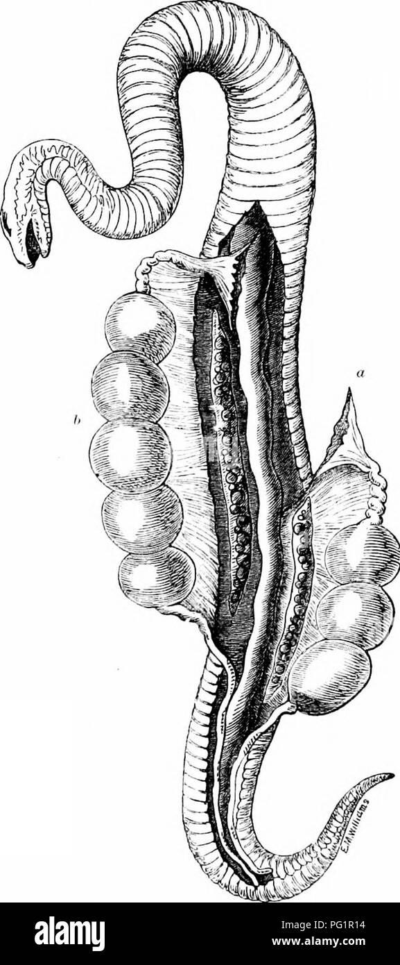On the anatomy of vertebrates. Vertebrates; Anatomy, Comparative ...