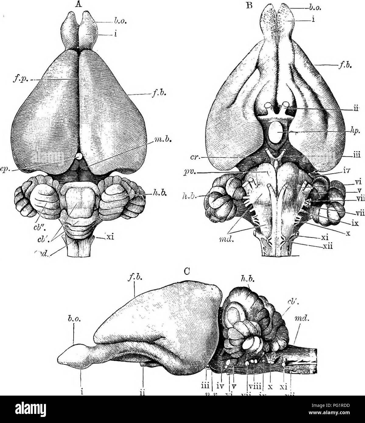 Brain anterior view stock photos brain anterior view stock images elements of the comparative anatomy of vertebrates anatomy comparative 174 comparative anatomy ccuart Images
